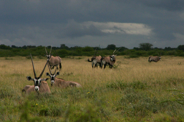 Gemsbok with a storm building