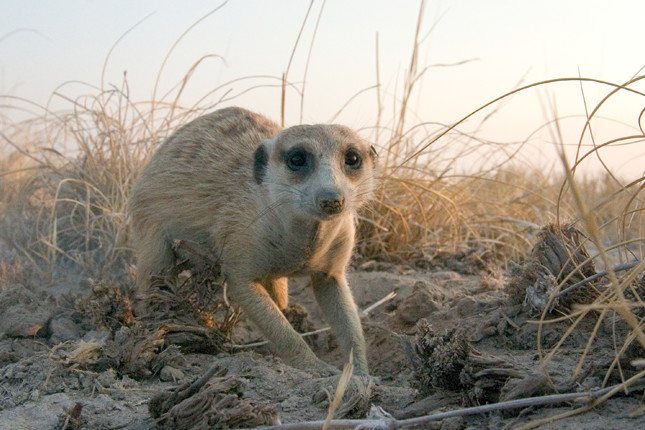 Meerkat in the Central Kalahari