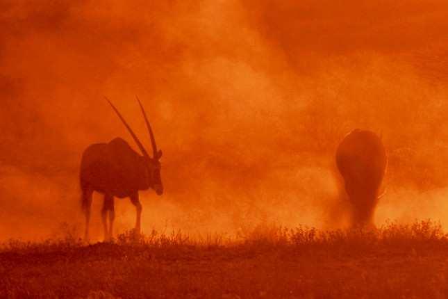 Gemsbok in the dust