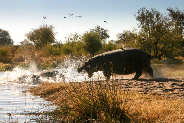 Hippo take to the water