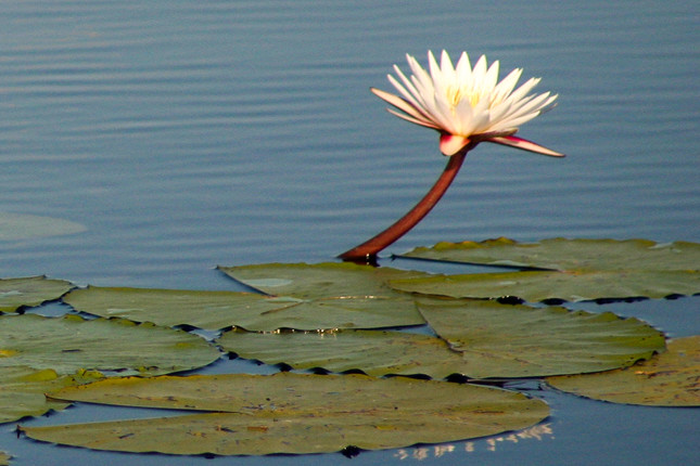 Beautiful water-lily