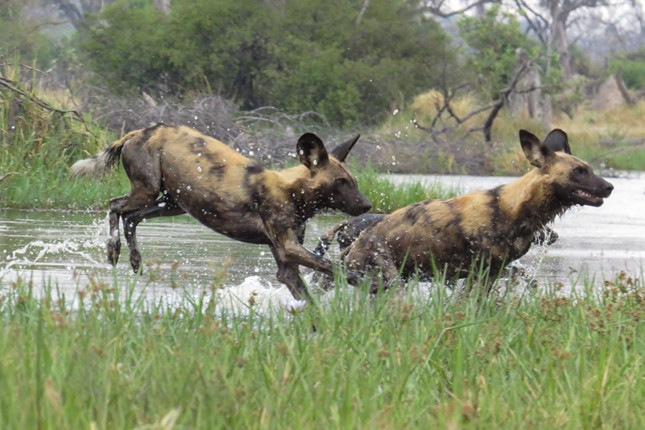 Painted dogs have to cross the water